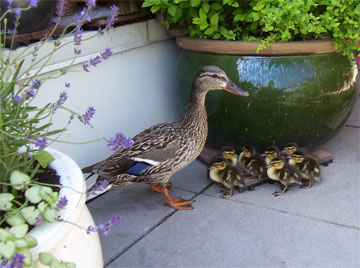 Toronto Wildlife Centre - Mallard & Ducklings